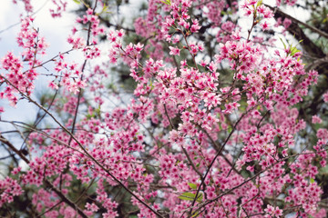 Apricot tree with pink blossom flowers at the springtime.