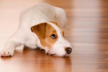 Parson Russel Terrier liegt im Wohnzimmer