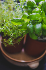 macro shot of basil and thyme plants shot at shallow depth of field