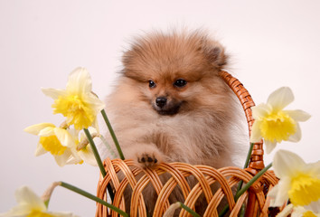 Fluffy puppy in a basket with flowers, pomeranian