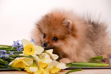 Puppy among flowers, pomeranian