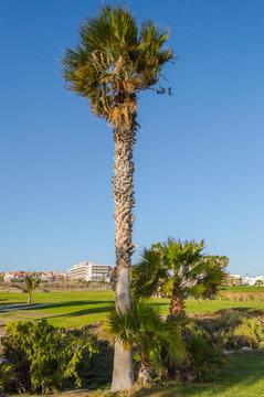 Three palm trees along a trail in Santa Cruz on the island of Tenerife