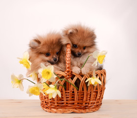 Puppies in a basket, funny bouquet of daffodils and dogs