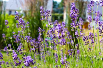 Beautiful lavender growing in a garden