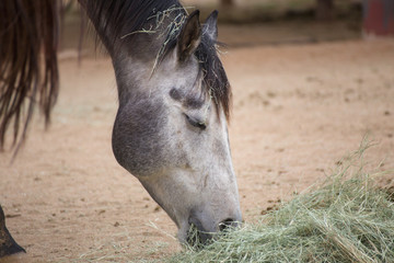 Gray, White, and Black Horse Feeding on Hay