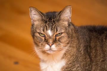 Grumpy Old Cat Glaring at Camera