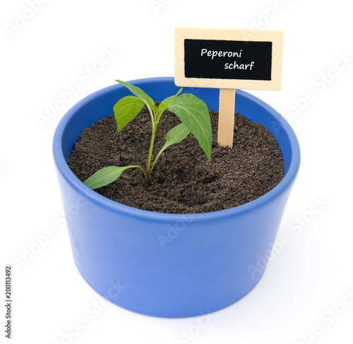 junge peperonipflanze im gartentopf paprika ganz einfach selbst anbauen und ziehen fotos de. Black Bedroom Furniture Sets. Home Design Ideas