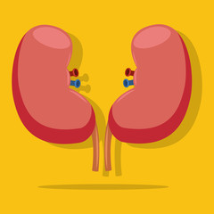 Kidney flat vector icon isolated on yellow background. Medical illustration of a healthy internal human organs.