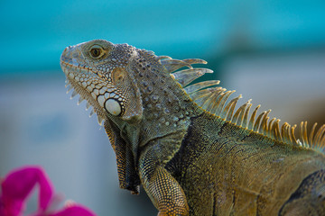 USA, Florida, Iguana, giant tropical lizard side view close up in garden