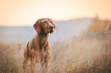 Photo sur Plexiglas Chasse Hungarian hound pointer vizsla dog in autumn time in the field