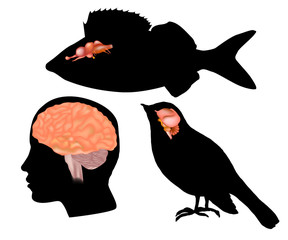 Size comparison to the brains of other animals. The Evolving Brain Different animal (fish, bird) and human