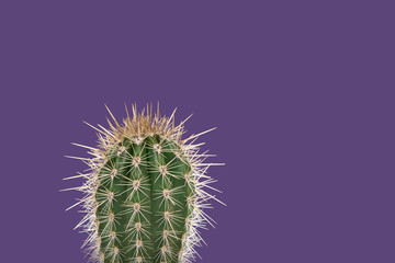 Single cactus plant on a purple background