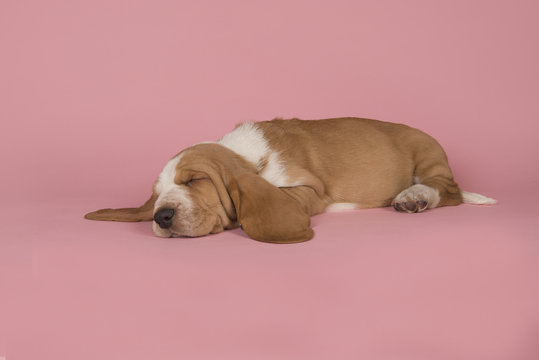Cute sleeping bicolor basset hound on a pink background