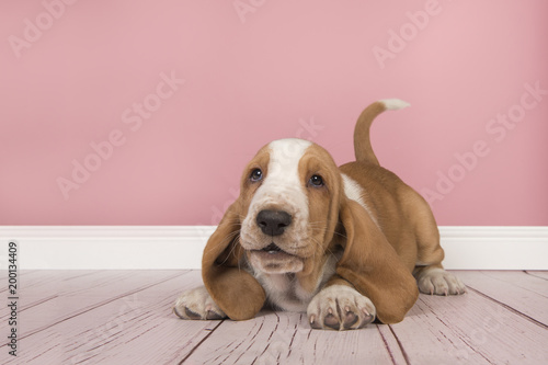 Cute playful tan and white basset hound puppy wanting to play in a ...