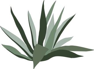 Pianta verde di Agave ragusae