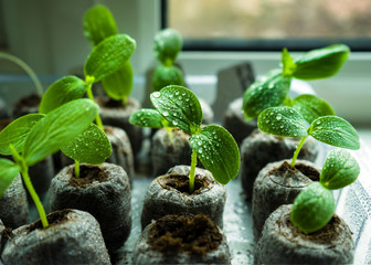 Young fresh cucumber seedling sprouts growing in peat tablets on windowsill