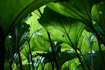 Burdock green leaves . Close-up. Green plants. Wall mural