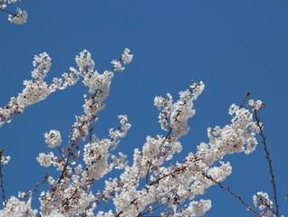Flowering Trees, Spring