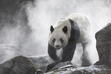 Aluminium Prints Panda Cute panda Nature Fog