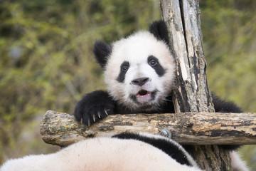 Fotobehang Panda Yuan Meng Baby panda cute