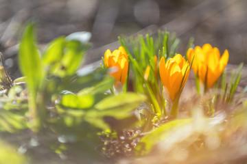 Yellow blooming crocuses. Low angle. Sunrise.
