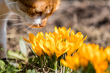 Yellow blooming crocuses and red-white cute cat. Low angle.