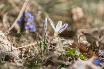 Wild crocus on the forest on a lawn on a hillside in the spring sunny day.