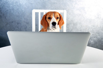 Smart beagle dog working with laptop