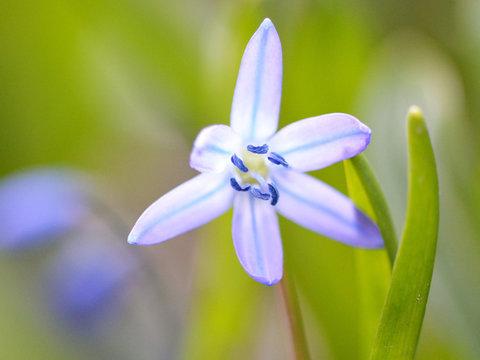 Blaustern-Blumen in der Frühlingswiese