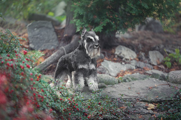schnauzer dog standing in green near the lake