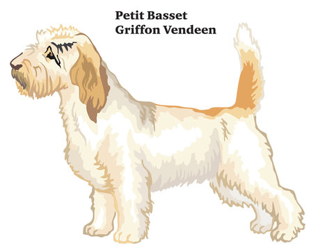 Colored decorative standing portrait of Petit Basset Griffon Vendeen vector illustration