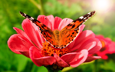 beautiful butterfly on a pink gerbera in nature