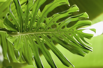 Tropical natural green Monstera perforated leaves with texture. Abstract natural pattern, exotic botanical background