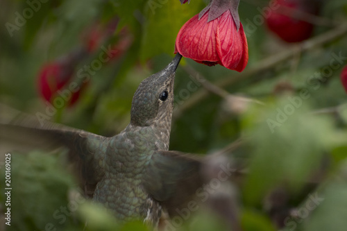 giant hummingbird stock photo and royalty free images on fotolia