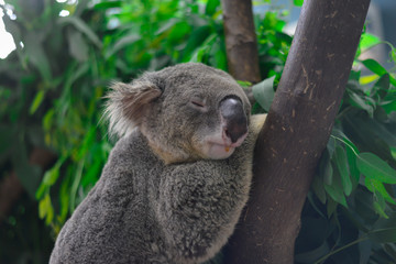 koala bear sleep