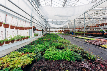 Growing of ornamental plants, shrubs and flowers for gardening in modern hydroponic greenhouse with climate control system