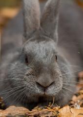 Dark Gray Rabbit Looks at Camera