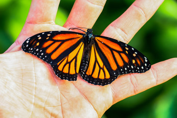 Monarch Butterfly On Hand