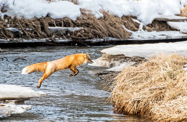 Red Fox Jumps Across a Creek