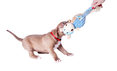 The puppy of the pit bull pulls the toy from his hands. Isolated on white background