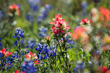 Fototapete - Indian paintbrush