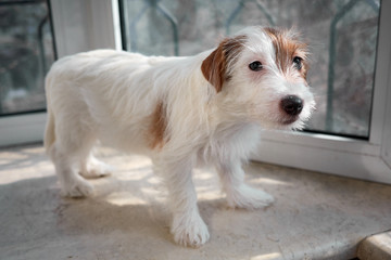 Portrait Jack Russell Terrier dog. Stands on a stone windowsill.