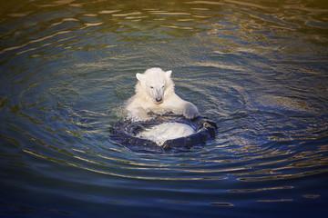 Polar bear cub playing on the water. Zoo life