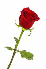 Red Roses on isolated background colors without background, bright juicy rose,