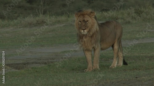 Lion (Panthera leo) male standing in early morning light looking around