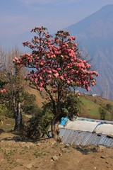 Blooming pink Rhododendron. Spring scene in the Langtang National Park, Nepal.
