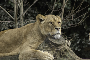 Lioness resting powerfull animal looking at the camera