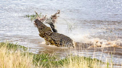 Nile crocodile with carcass
