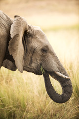 Elephant eating grass shoots
