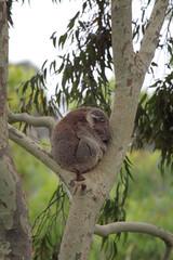 Ein Koala (Phascolarctos cinereus) sitzt in einer Astgabel im Tower Hill Wildlife Reserve bei Warrnambool, Victoria, Australien.
